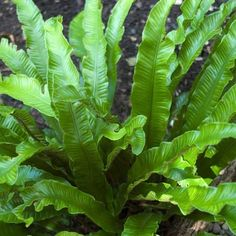 "Asplenium scolopendrium - Hart's Tongue Fern - Phyllitis This looks great with the yellow and purple. It's ""best friends"" with Hakonechloa (Japanese forest grass) because it compliments it colour and it is evergreen too! Moon Garden, Garden Pond, Shade Garden Plants, Indoor Plants, Potted Plants, Pond Design, Garden Design, Fern Plant, Plant Leaves"