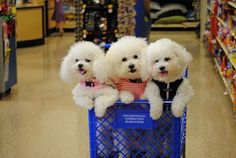 Happy Shoppers- Bichon Frise Dogs!!