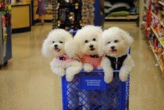 Happy Shoppers- Bichon Frise Dogs!!