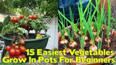 15 Easiest Vegetables To Grow In Pots For Beginners – Home Decor DIY Closet Organization Vertical Vegetable Gardens, Vegetable Garden For Beginners, Backyard Vegetable Gardens, Container Gardening Vegetables, Vegetable Garden Design, Gardening For Beginners, Easy Vegetables To Grow, Home Grown Vegetables, Veggies