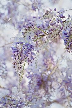 Wisteria by Jacky Parker Floral Art on Flickr