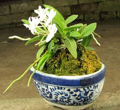 Neofinetia falcata Yodonomatsu Orchid Varieties, Orchidaceae, Golden Star, Glass Garden, Tibet, Horticulture, Make Me Smile, Orchids, Cactus