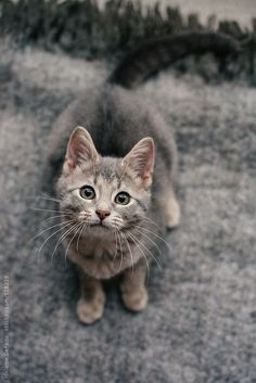 portrait of a kitten looking at the camera