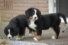 Berner Sennen puppies | schattig | jonge hondjes | een nest puppies Cute Little Dogs, Cute Dogs, Mountain Dogs, Bernese Mountain, Cute Animals, Kawaii, Quad, Google, Dogs