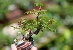 shohin bonsai japan | Mame-bonsai | Shohin Bonsai Blog