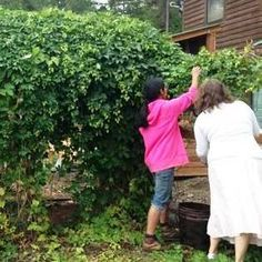 In the case of hops, Humulus lupulus, there is too much goodness to not consider this addition to the homestead. The quick answer