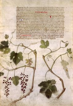 Page from the 'Carrara Herbal' (between c. 1390 and 1404). An Italian translation, possibly from a Latin translation, of a treatise orginally written in Arabic by Serapion the Younger (Ibn Sarabi, likely 12th century). Wikimedia.