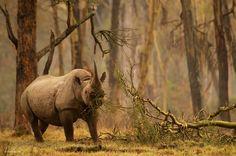 Golden forest rhino. Photograph by Greg du Toit. Black rhino (Diceros bicornis) in Kenya's Lake Nakuru National Park.