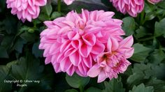 My Flower, Flowers, All Pictures, Annie, Rose, Plants, Pink, Plant, Roses
