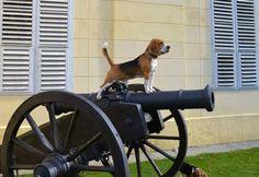 On guard Beagle
