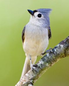 Tufted Titmouse. Supposedly unafraid of humans.