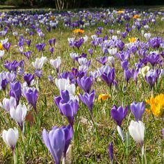 Comment planter et entretenir les crocus, des petites fleurs colorées en pot ou au jardin. Les coloris vifs et variés des crocus vont du jaune et du blanc au violet sombre, en passant par toutes les nuances de bleus. Plants, Crocus