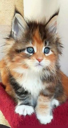 Cute Kittens Maine Coon Cat Wallpaper Added on , Tagged : Cute Kittens, Maine Coon Cat at Cute Kittens Pictures Pretty Cats, Beautiful Cats, Animals Beautiful, Kittens And Puppies, Cute Cats And Kittens, Adorable Kittens, Funny Kittens, Adorable Babies, Kittens Cutest Baby