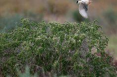#guidofrilli - Nikon D300 + Tamron 150/600 - f5/6.3 - 1/1250 sec. f/6.3 ISO-400 600mm a 20m. - photo Guido Frilli - Sinis Desert Stagno di Mistras - culbianco (Oenanthe oenanthe (Linnaeus, 1758)) è un uccello passeriforme della famiglia dei Muscicapidi - Posatoio: Cisto villoso o Cisto rosso (Cistus incanus L., 1753)  sottospecie locale Citus corsicus è un arbusto appartenente alla famiglia delle Cistaceae.