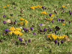 #crocus #spring