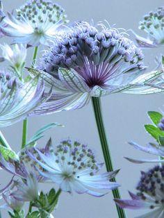 flower : blue