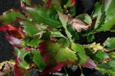Mukgenia 'Nova Flame'= kruising tussen Mukdenia en Bergenia, wintergroene plant met prachtige herfstkleur en bloei rozerood in april-juni.