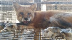 fox killed for fur