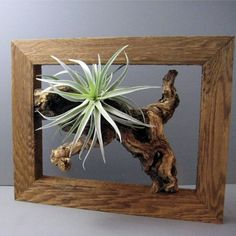 Air plant, frame, tillandsia, by Sea and Asters via Etsy: