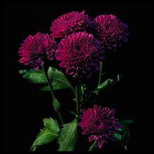 Envío gratis, púrpura del crisantemo semillas, hermosa flor, especial raras, 20 Particle / bolsa(China (Mainland))