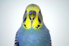 parakeet colors | Re: Breeding outcomes!