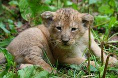 Rare Asiatic Lion Cubs Born at Paignton Zoo