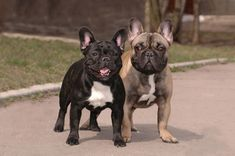 two french bulldogs together in park picture