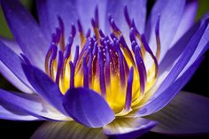 Inner Glow fine art photography prints for sale by Priya Ghose - Dramatic blue and purple tropical waterlily petals unfold to reveal a vibrant inner glow.