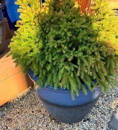 Dwarf Japanese cedar shines in direct light with chartreuse foliage that's tipped with shades of orange.