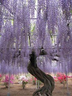 Such incredible wisteria blossoms!