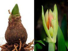 Ha azt szeretnénk, hogy az amarillisz ne csak egyszer hozzon virágot.