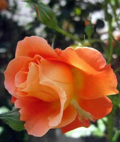 Apricot shade of rose.                                                                                                                                                                                 More