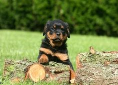 40 Great Rottweiler Puppies Pictures and Information Dog Wallpaper, Wallpaper Backgrounds, Computer Wallpaper, Wallpapers En Hd, German Dog Breeds, Rottweiler Puppies, Puppy Pictures, Pet Birds, Background Images