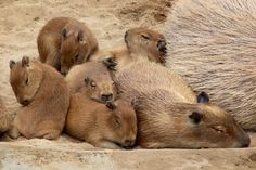 Comfy Capybaras