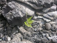 Life anew.  Volcanoes National Park, Hawaii
