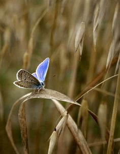 Blue moth on fall grasses
