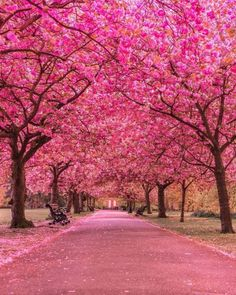 A Pink Road. Cherry Blossom Trees at Greenwich Park Beautiful World, Beautiful Places, Beautiful Pictures, Belle Image Nature, Frühling Wallpaper, Tree Tunnel, Greenwich Park, London Photographer, Colorful Trees