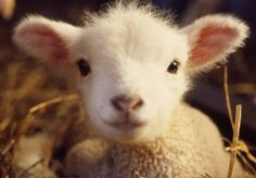 Winter Flowers Way: Animal Spirit Guides ~ Lamb wisdom! ©