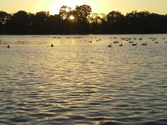 Lodi Lake Ducks