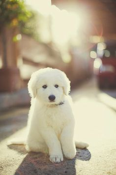 maremma sheepdog to protect my chickens Pyrenees Puppies, Great Pyrenees Puppy, Baby Puppies, Cute Puppies, Dogs And Puppies, Maremma Sheepdog, Maremma Dog, Baby Animals, Cute Animals