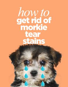 How To Get Rid Of Morkie Tear Stains - The Morkie Guide