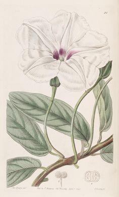 "https://flic.kr/p/dM9CQW | n57_w1150 | Edwards's botanical register.. London :James Ridgway,1829-1847.. <a href=""http://biodiversitylibrary.org/page/241425"" rel=""nofollow"">biodiversitylibrary.org/page/241425</a>"