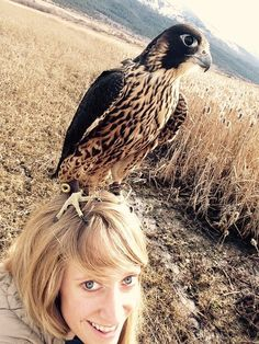 """becausebirds: """"""""My friend has been training a Peregrine Falcon, she sent me this photo today."""" source """""""