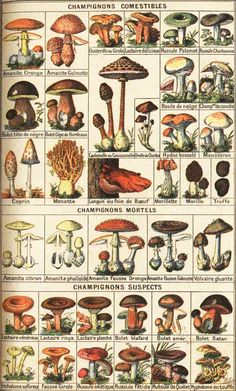 French edible mushroom chart shroom reference drawing illustration how to draw Growing Mushrooms, Wild Mushrooms, Stuffed Mushrooms, How To Grow Mushrooms, Botanical Drawings, Botanical Illustration, Botanical Prints, Mushroom Art, Mushroom Fungi