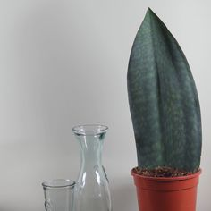 Buy mother-in-law's tongue 'Victoria' Sansevieria masoniana Victoria - Stunning architectural foliage: pot - tall: Delivery by Crocus
