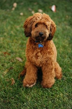 I thought I adopted a poodle; I think I have a woodle instead!  Shaggy...