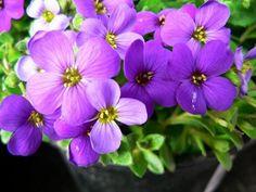 Tařička | Aubrieta : návod k pěstování, požadavky na světlo, hnojení, vlhkost, množení a zalévání Plants, Flora, Plant