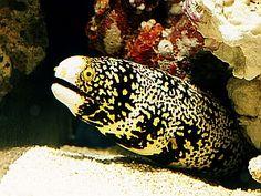 Common Name: Snowflake Eel  Scientific Name: Echidna nebulosa