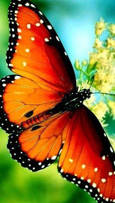 AMAZING orange BUTTERFLY ( Honigsauger ) # www.allwallpaper.in/de/lovely-honey-sucker-wallpaper-13259.html