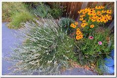 Gerhard's extracurricular bloom day--Davis, California